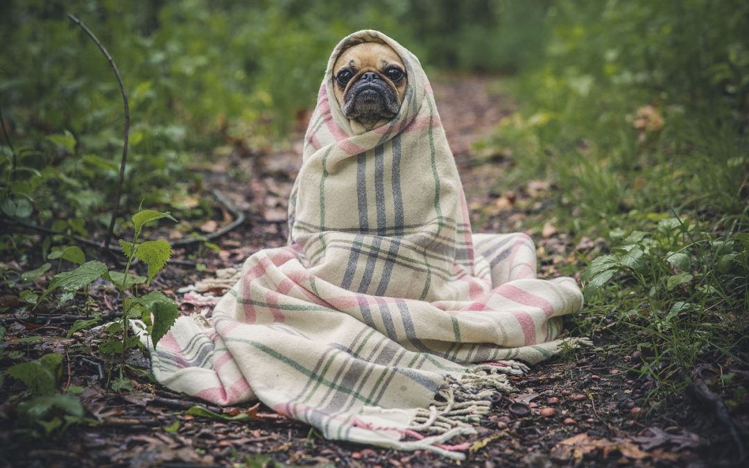Chien sous couverture