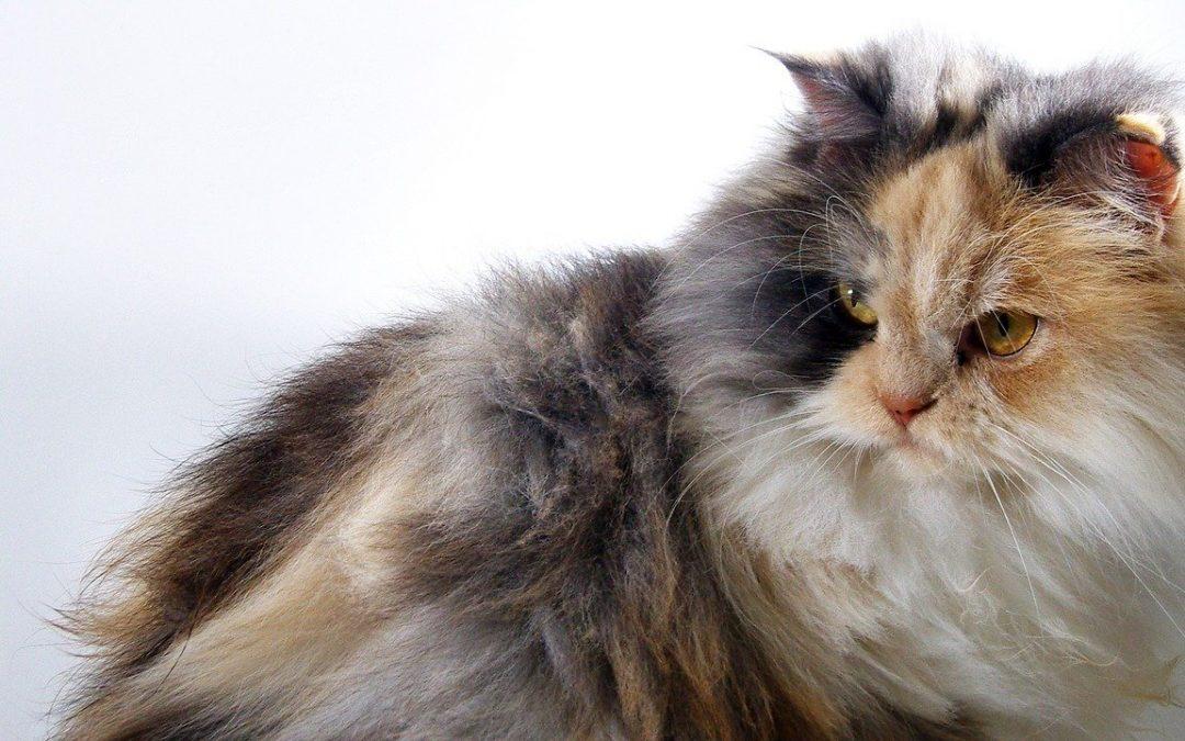 Comment toujours garder un œil sur votre chat de race ?