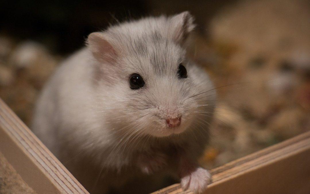 Hamster nouveau