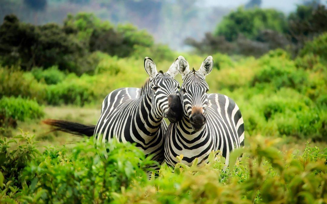 Deux zèbres heureux câlinant dans un parc animalier type safari